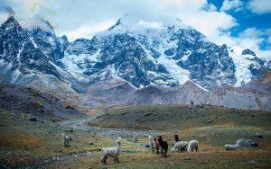 Llamas-Peru